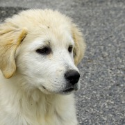 maremma dog, emotionalwisdomforyou.com